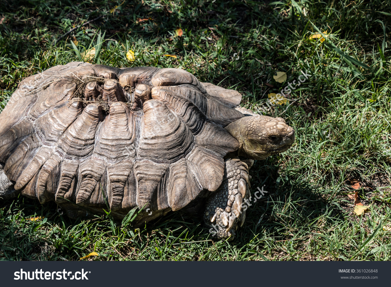Sulcata Tortoise clipart #2, Download drawings