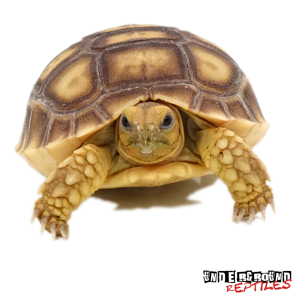 Sulcata Tortoise clipart #7, Download drawings