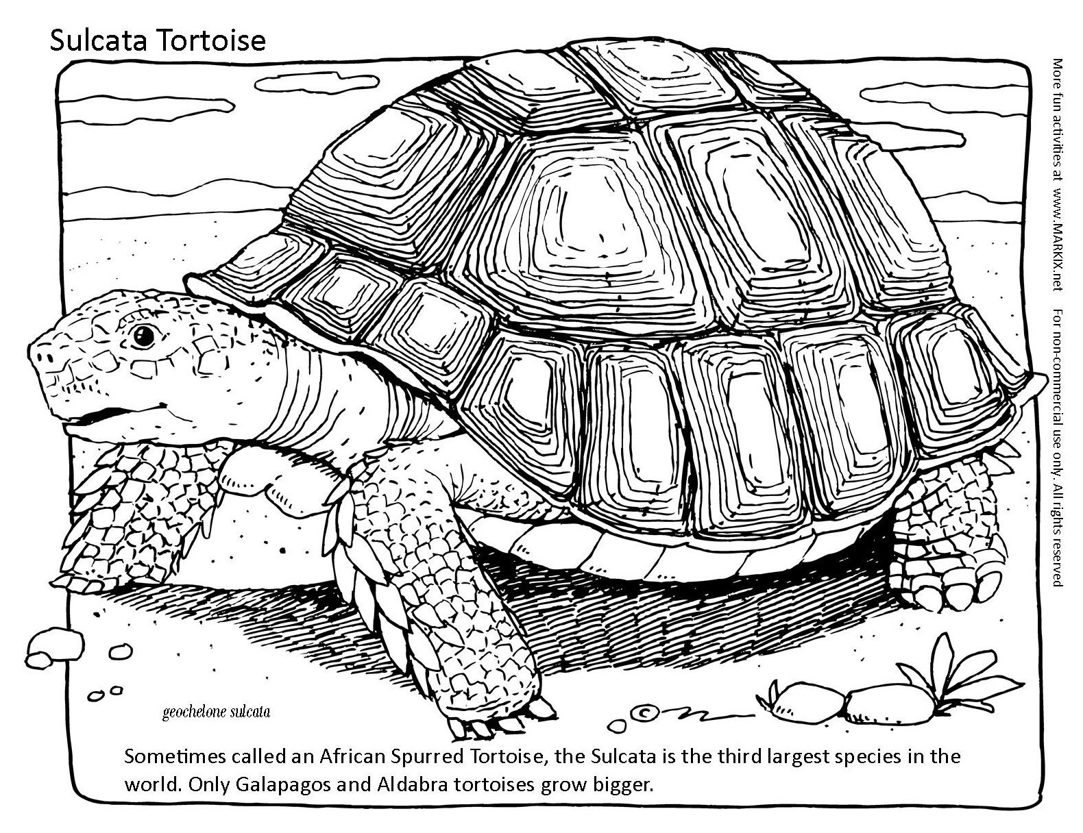 Sulcata Tortoise coloring #20, Download drawings