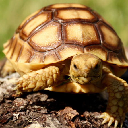 Sulcata Tortoise clipart #4, Download drawings