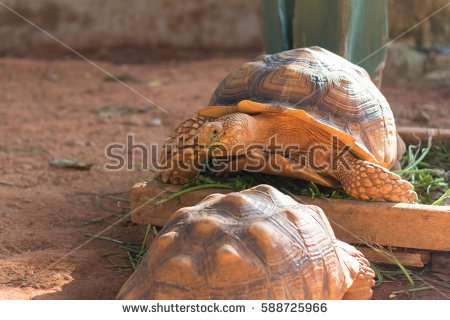 Sulcata Tortoise clipart #16, Download drawings