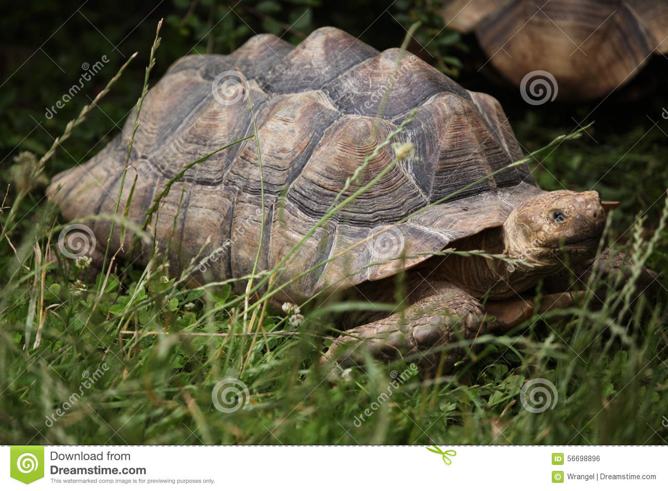 Sulcata Tortoise clipart #6, Download drawings
