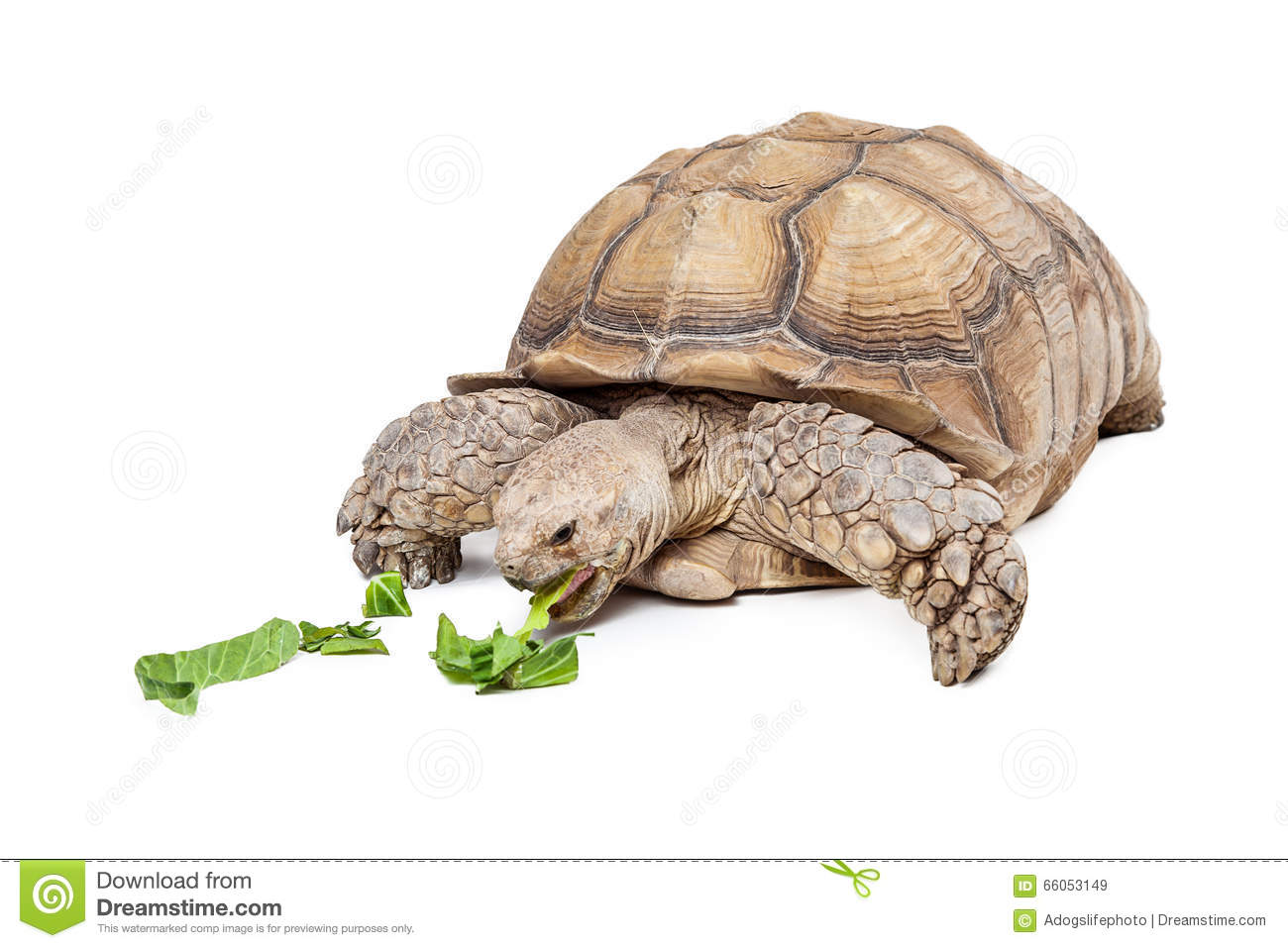 Sulcata Tortoise clipart #3, Download drawings