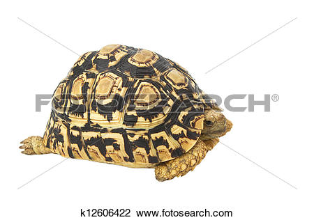 Sulcata Tortoise clipart #17, Download drawings