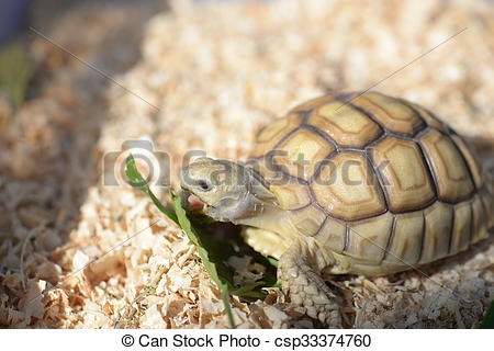 Sulcata Tortoise clipart #8, Download drawings