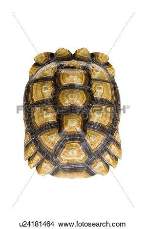 Sulcata Tortoise clipart #14, Download drawings