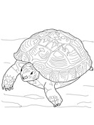 Sulcata Tortoise coloring #13, Download drawings