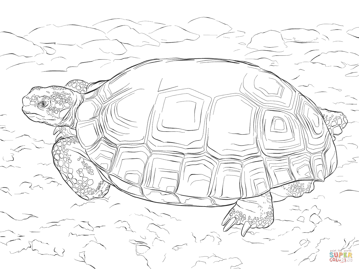 Sulcata Tortoise coloring #1, Download drawings