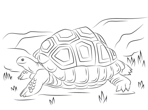 Sulcata Tortoise coloring #3, Download drawings