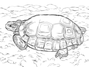 Sulcata Tortoise coloring #5, Download drawings
