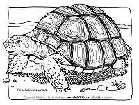 Sulcata Tortoise coloring #12, Download drawings