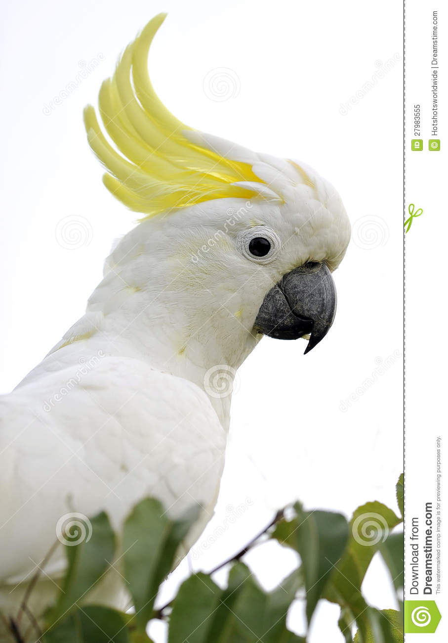 Sulphur-crested Cockatoo clipart #9, Download drawings