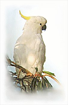 Sulphur-crested Cockatoo clipart #16, Download drawings