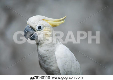 Sulphur-crested Cockatoo clipart #18, Download drawings