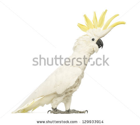 Sulphur-crested Cockatoo clipart #5, Download drawings
