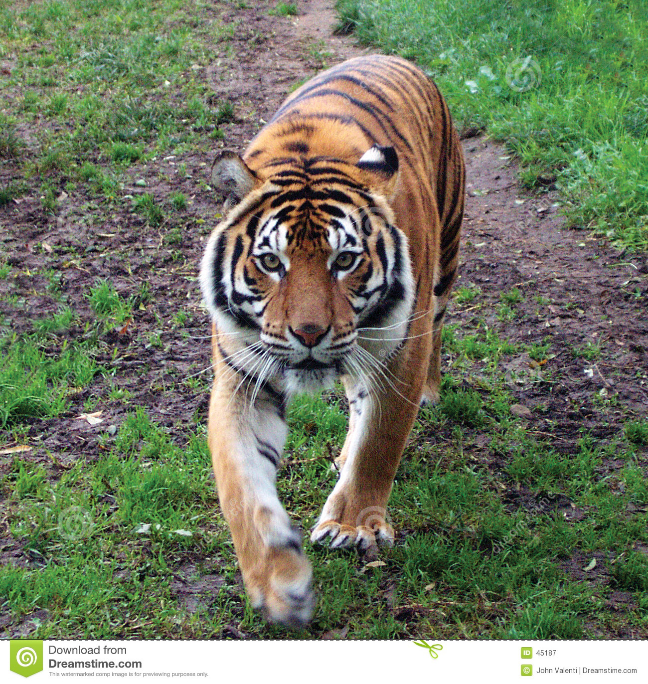 Sumatran Tiger clipart #6, Download drawings