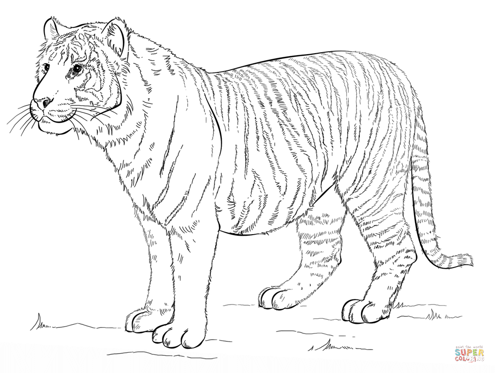Sumatran Tiger coloring #9, Download drawings