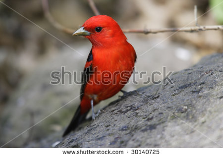 Summer Tanager clipart #11, Download drawings