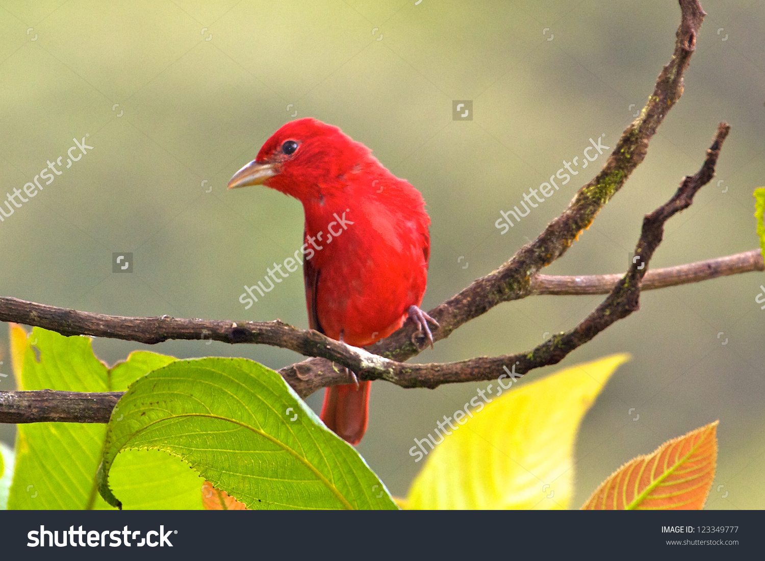 Summer Tanager clipart #2, Download drawings