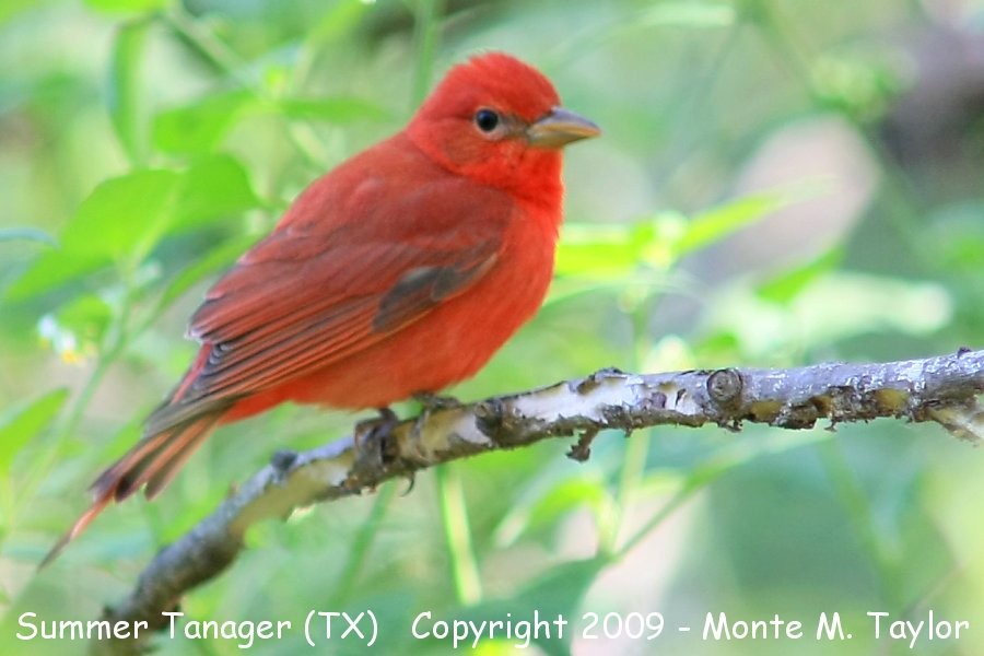 Summer Tanager clipart #13, Download drawings