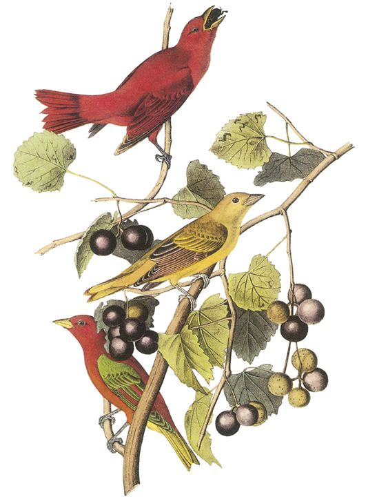 Summer Tanager clipart #17, Download drawings