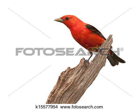 Summer Tanager clipart #7, Download drawings