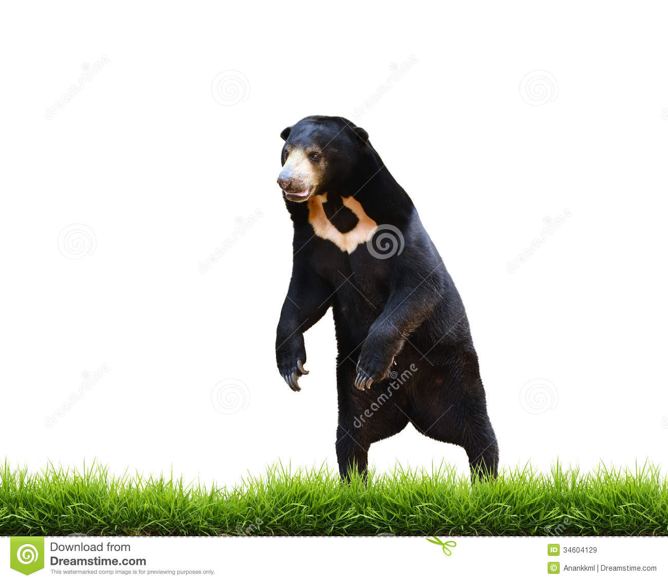 Sun Bear clipart #10, Download drawings