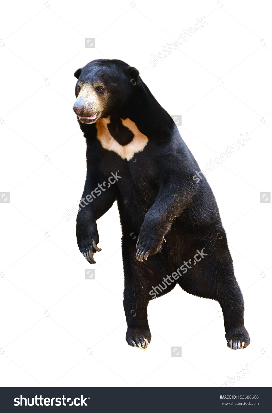 Sun Bear clipart #2, Download drawings