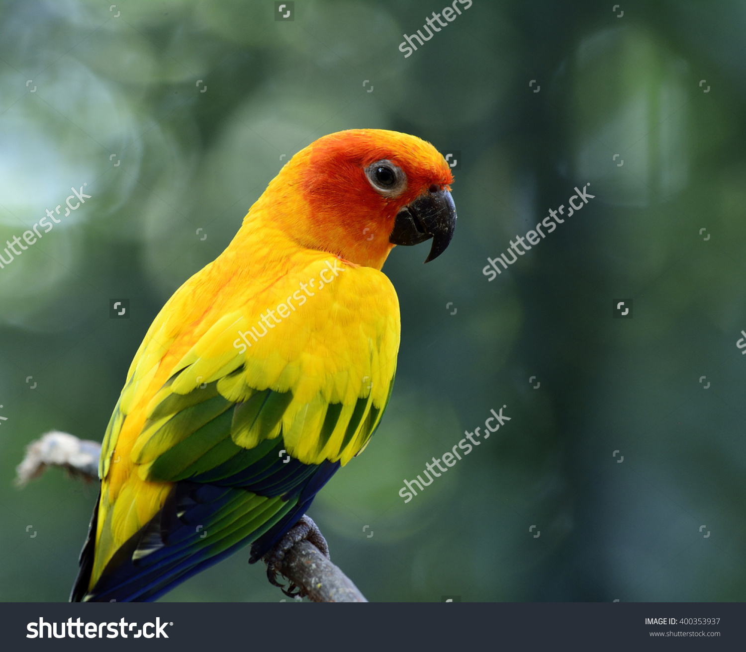 Sun Parakeet clipart #2, Download drawings