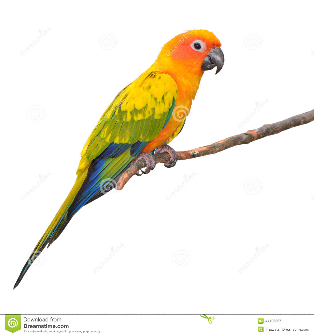 Sun Parakeet clipart #17, Download drawings
