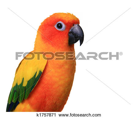 Sun Parakeet clipart #12, Download drawings