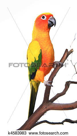 Sun Parakeet clipart #8, Download drawings