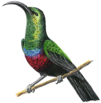 Sunbird clipart #14, Download drawings