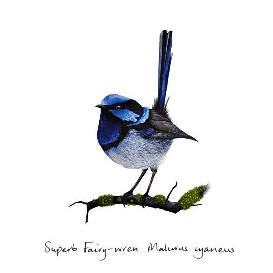 Superb Fairywren clipart #14, Download drawings
