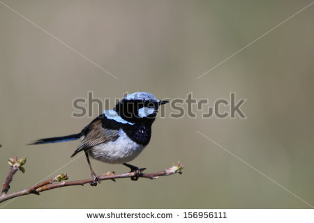Superb Fairywren clipart #4, Download drawings