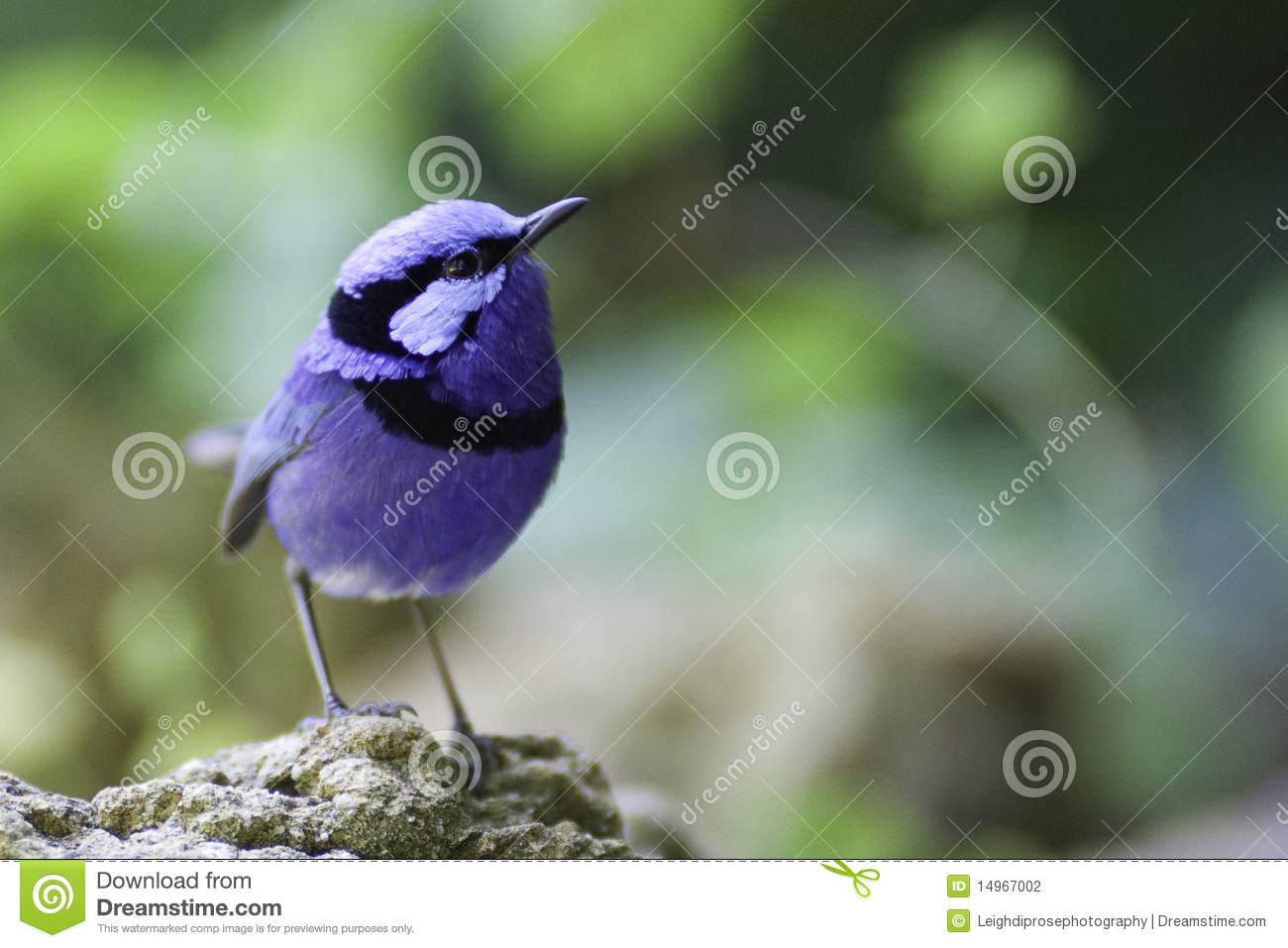 Superb Fairywren clipart #2, Download drawings