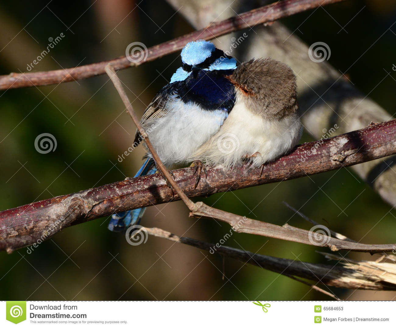 Superb Fairywren clipart #5, Download drawings