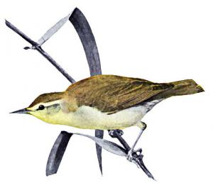 Swainson's Warbler clipart #1, Download drawings