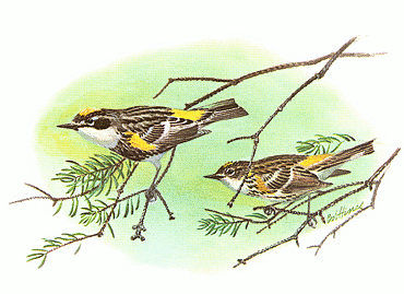 Swainson's Warbler clipart #14, Download drawings