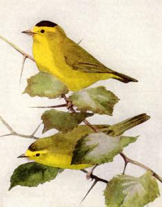 Swainson's Warbler clipart #8, Download drawings