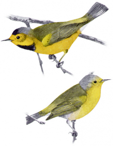 Swainson's Warbler clipart #15, Download drawings