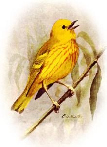Yellow Warbler clipart #8, Download drawings