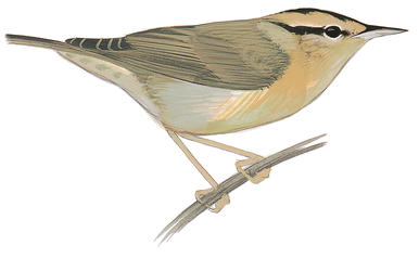 Swainson's Warbler clipart #3, Download drawings
