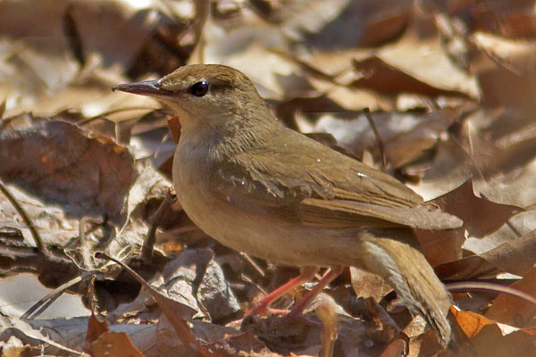 Swainson's Warbler clipart #20, Download drawings