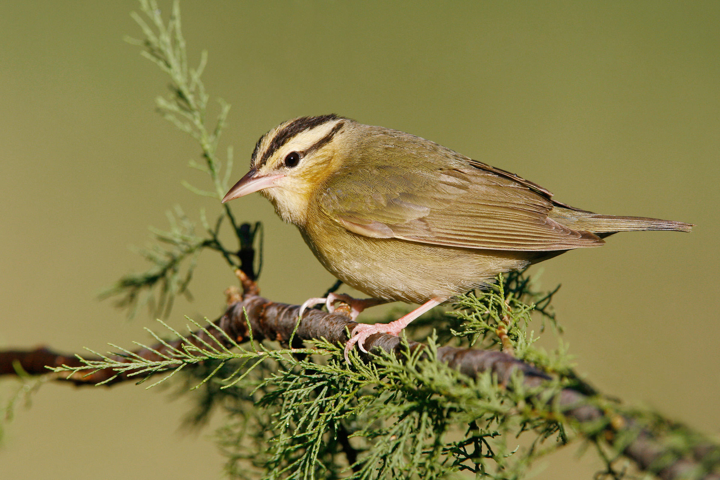 Swainson's Warbler clipart #18, Download drawings