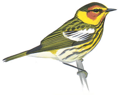 Swainson's Warbler clipart #4, Download drawings