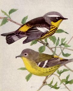 Swainson's Warbler clipart #6, Download drawings