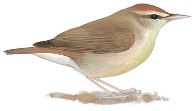 Swainson's Warbler clipart #16, Download drawings