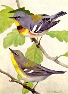 Swainson's Warbler clipart #9, Download drawings