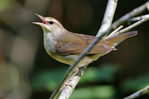 Swainson's Warbler coloring #16, Download drawings